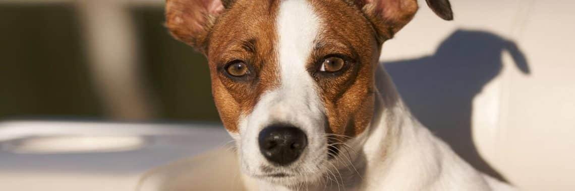 seguros de responsabilidad civil para perros. Imagen de un perro blanco y marrón